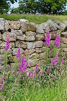 UK, England.  Foxglove (digitalis purpurea) Growing along Stone Farm Wall near Hadrian's Wall Footpath.