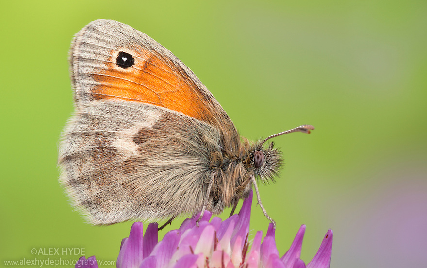 Small Heath Butterfly (Coenonympha pamphilus) feeding on clover. Peak District National Park, Derbyshire, UK. September.