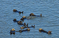 Sea Otter (Enhydra lutris) raft--group of sea otters resting together.