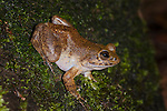 Madagascar Giant Stream Frog (Mantidactylus guttulatus) - Madagascar's largest native frog. Active at night on banks of small stream in rainforest. Andasibe-Mantadia National Park, Madagascar.