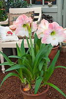 Amaryllis Apple Blossom Hippeastrum bulb in bloom in pot