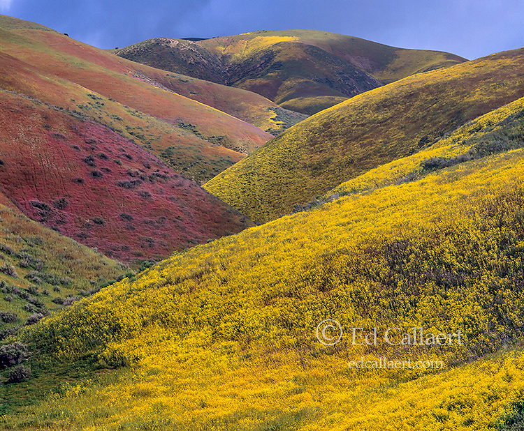Wildflowers, Tremblor Range, Carrizo Plain National Monument, San Luis Obispo County, California