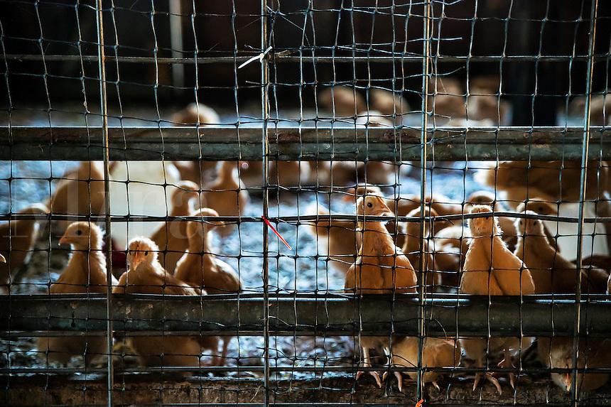 Chicken chicks in a chicken house.