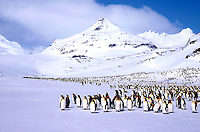 King Penguins<br />Animals - Antartica<br />Antartica Salisbury Plain / South Georgia<br />© Explorer-Images / Jay Watson