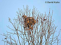 1212-07xx  Squirrel's Nest - Squirrel's Drey - Sciurus carolinensis - © David Kuhn/Dwight Kuhn Photography.