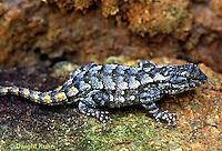 1R18-002d   Fence Lizard - Sceloporus undulatus