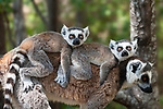 Female Ring-tailed lemur (Lemur catta) carrying twin infants on her back.  Anja Reserve, south central Madagascar.