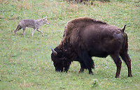 A coyote and bison cross paths in Yellowstone.