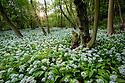 Wild Garlic / Ramsons {Allium ursinum} forming a flower carpet on deciduous woodland floor, Peak District National Park, Derbyshire, UK