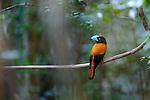 Adult helmet vanga (Euryceros prevostii) in forest understorey. Marojejy National Park, north east Madagascar.