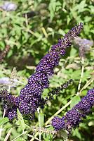 Butterfly Bush Buddleja davidii 'Black Knight'