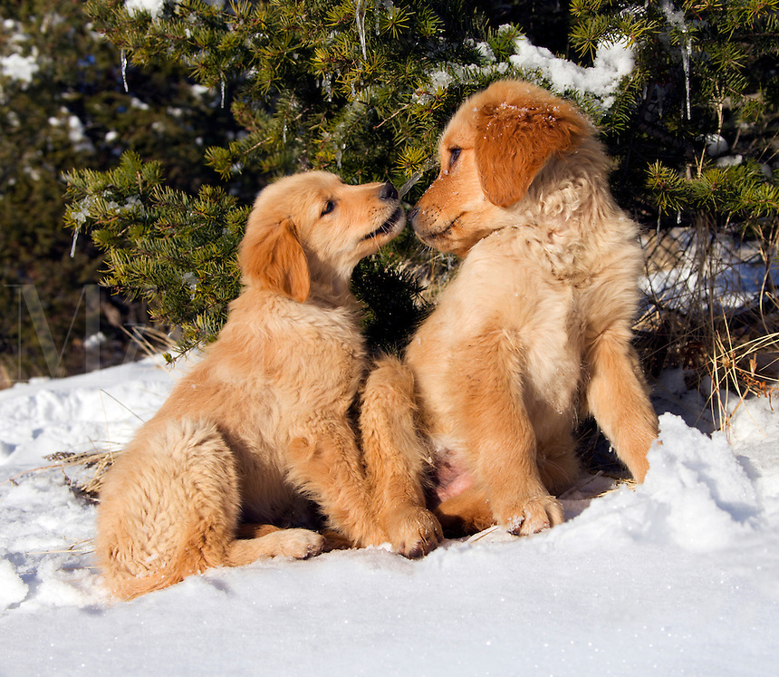 Golden retriever puppies have sweet face-to-face interaction, with evergreen tree, icicles, and snow