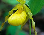 Great Smoky Mountains National Park, TN/NC<br /> Delicate blossom of Yellow Lady's Slipper (Cypripedium reginae)