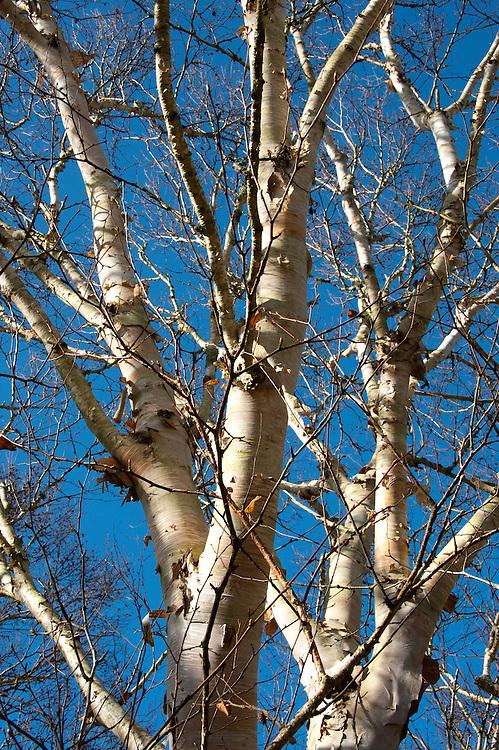 Erman's birch (Betula ermanii), late October.