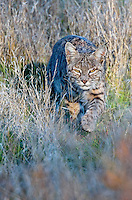 Wild Bobcat (Lynx rufus) walking/stalking though grass in Central California.  December.  (Completely wild, non-captive cat.)