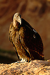 California condor, Colorado River, Arizona