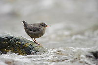 Fledgling American Dipper (Cinclus mexicanus) in rapids. King County, Washington. April.