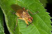 Gelbe Dungfliege, Mistfliege, Scathophaga stercoraria, Scatophaga stercoraria, yellow dungfly, yellow dung fly