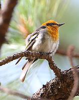 Male olive warbler