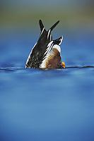 Northern Shoveler, Anas clypeata, male dabbling, Rio Grande Valley, Texas, USA