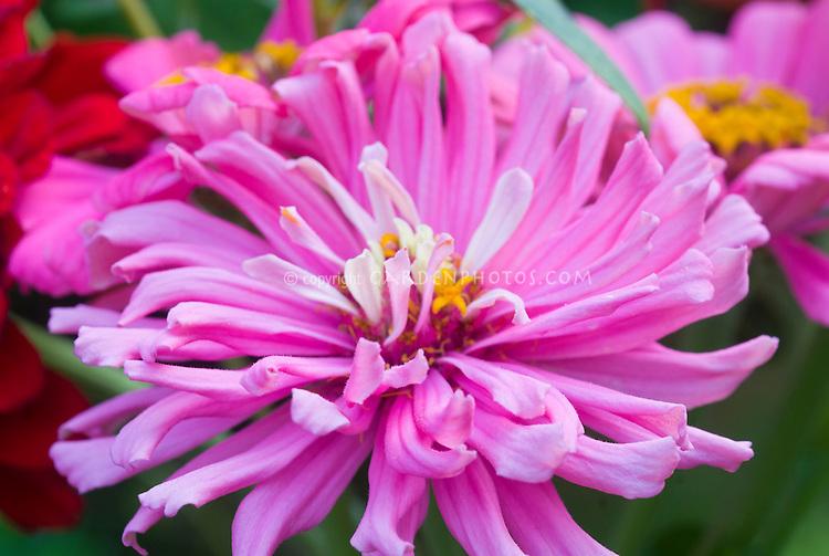 Zinnia Benary Giant Bright Pink