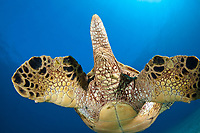 The tail end view of a green sea turtle, Chelonia mydas, an endangered species. Maui, Hawaii, USA, Pacific Ocean