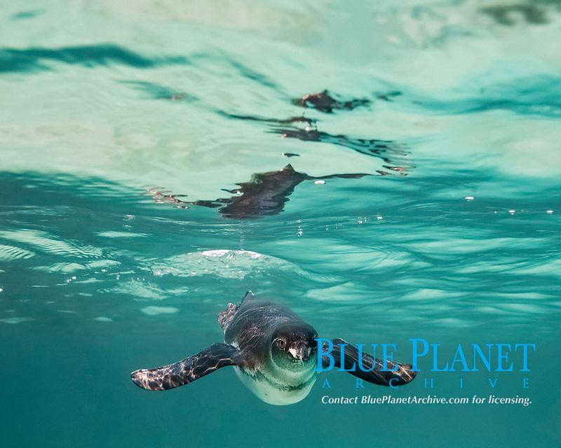 Galapagos penguin, Spheniscus mendiculus, foraging underwater, endemic species, endangered species, Galapagos Islands, Ecuador, Pacific Ocean