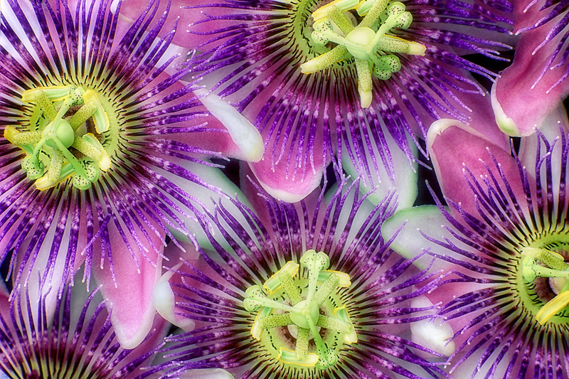 Passion flowers.