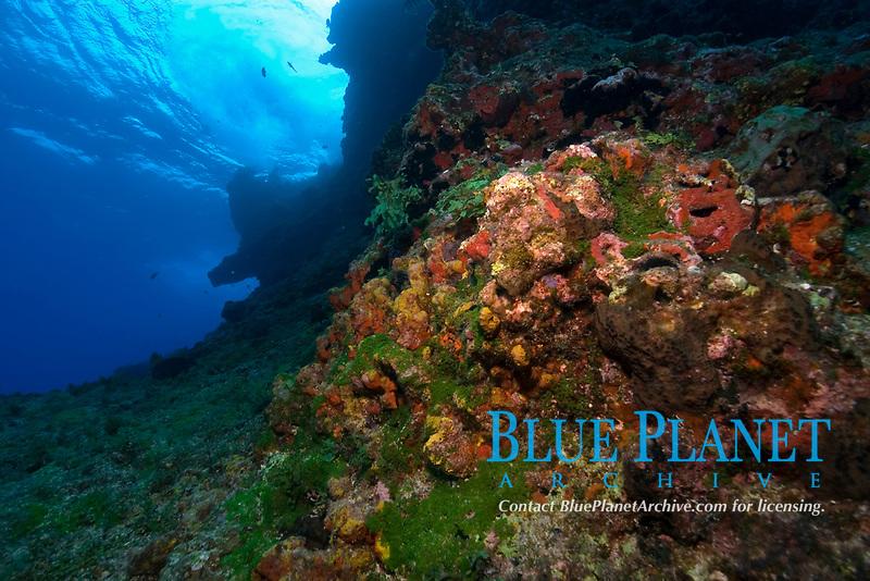 Colorful encrusting sponges and corals cover the rock formations at Pedras secas, Fernando de Noronha, Pernambuco, Brazil, Atlantic Ocean