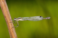 Gemeine Winterlibelle, Weibchen, Winter-Libelle, Sympecma fusca, Common Winter Damselfly, Common Winter Damsel, female
