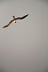 Greater Crested Tern (Thalasseus bergii) plunge diving, Hawf Protected Area, Yemen