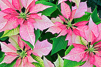 Variagated poinsettia. Oregon Coast Garden Center