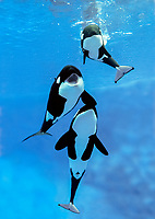 killer whale or orca, Orcinus orca, adults and calf (c)