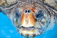 loggerhead sea turtle, Caretta caretta,Projeto Tamar, Florianopolis, Santa Catarina, Brazil