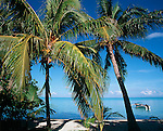 Bora Bora, French Polynesia   <br /> Coconut Palm trees (Cocos nucifera) on Matira beach with the tropocal waters of Bora Bora lagoon