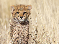 We missed out on cheetahs in the Greater Kruger area, but managed to find some at Tswalu, including a mother with two cubs.