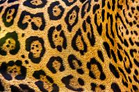 jaguar, Panthera onca, fur, color pattern, Espirito Santo, Brazil