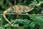 Male Blue-legged Chameleon (Calumma crypticum) in forest understorey. Ranomafana National Park, Madagascar