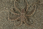 Longarm octopus (Octopus sp.) well camouflaged in the sand