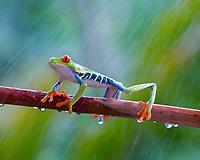 red-eyed treefrog, Agalychnis callidryas, on a tree branch, in misty rain, in rainforest, Costa Rica