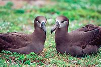 black-footed albatrosses, Phoebastria nigripes, Midway Island, Northwestern Hawaiian Islands NMS (Pacific Ocean)