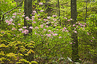 Pink Azalea (Rhododendron periclymenoides) and spring forest along the St. Mary's River
