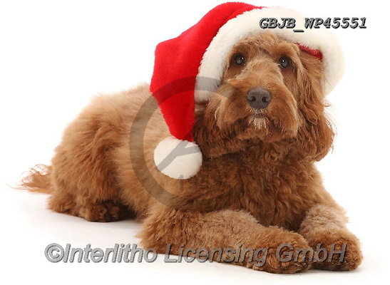 Kim, CHRISTMAS ANIMALS, WEIHNACHTEN TIERE, NAVIDAD ANIMALES, photos+++++,GBJBWP45551,#xa#