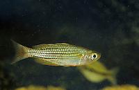Zwerg-Regenbogenfisch, Zwergregenbogenfisch, Melanotaenia maccullochi, Dwarf Rainbowfish, Regenbogenfische, Melanotaeniidae