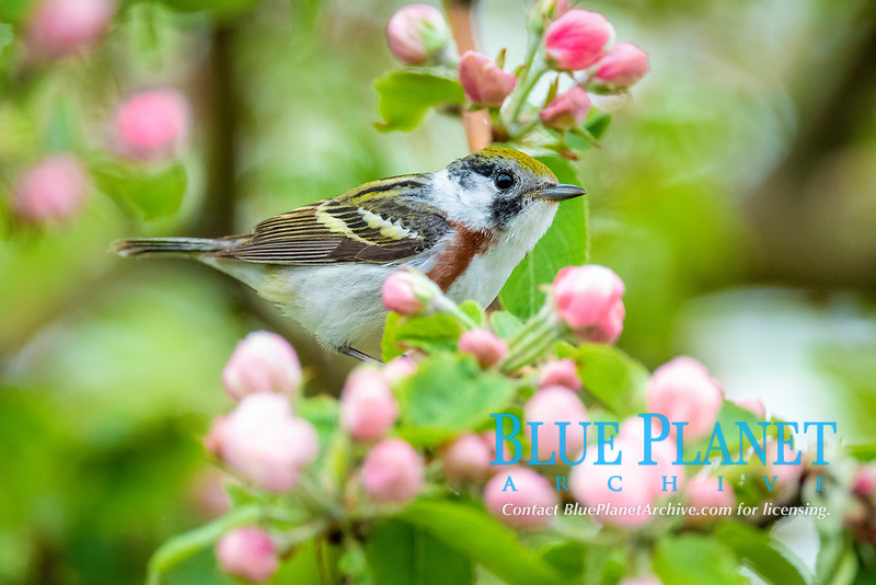Chestnut-sided warbler male (Setophaga pensylvanica) in spring on blossuming tree, Maine