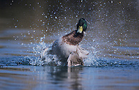 Mallard, Anas platyrhynchos, male bathing, Klingnau, Switzerland, Dezember 1998
