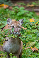 Mountain Lion or cougar (Puma concolor).   West slope Cascade Mountains of Washington.  Fall.
