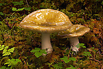 Mushrooms at Shuyak Island State Park, northern part of the Kodiak Archipelago in state of Alaska