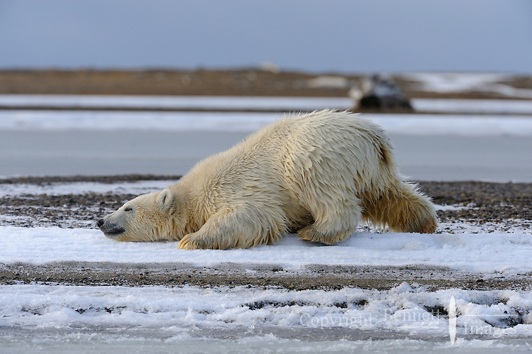 A polar bear cub scratches an itch along the shoreline of a barrier island outside Kaktovik, Alaska. Every fall, polar bears gather near the community, on the northern edge of ANWR, waiting for the Arctic Ocean to freeze. The bears have become a symbol of global warming.