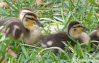 0217-1206  Mallard Ducklings, Anas platyrhynchos  © David Kuhn/Dwight Kuhn Photography